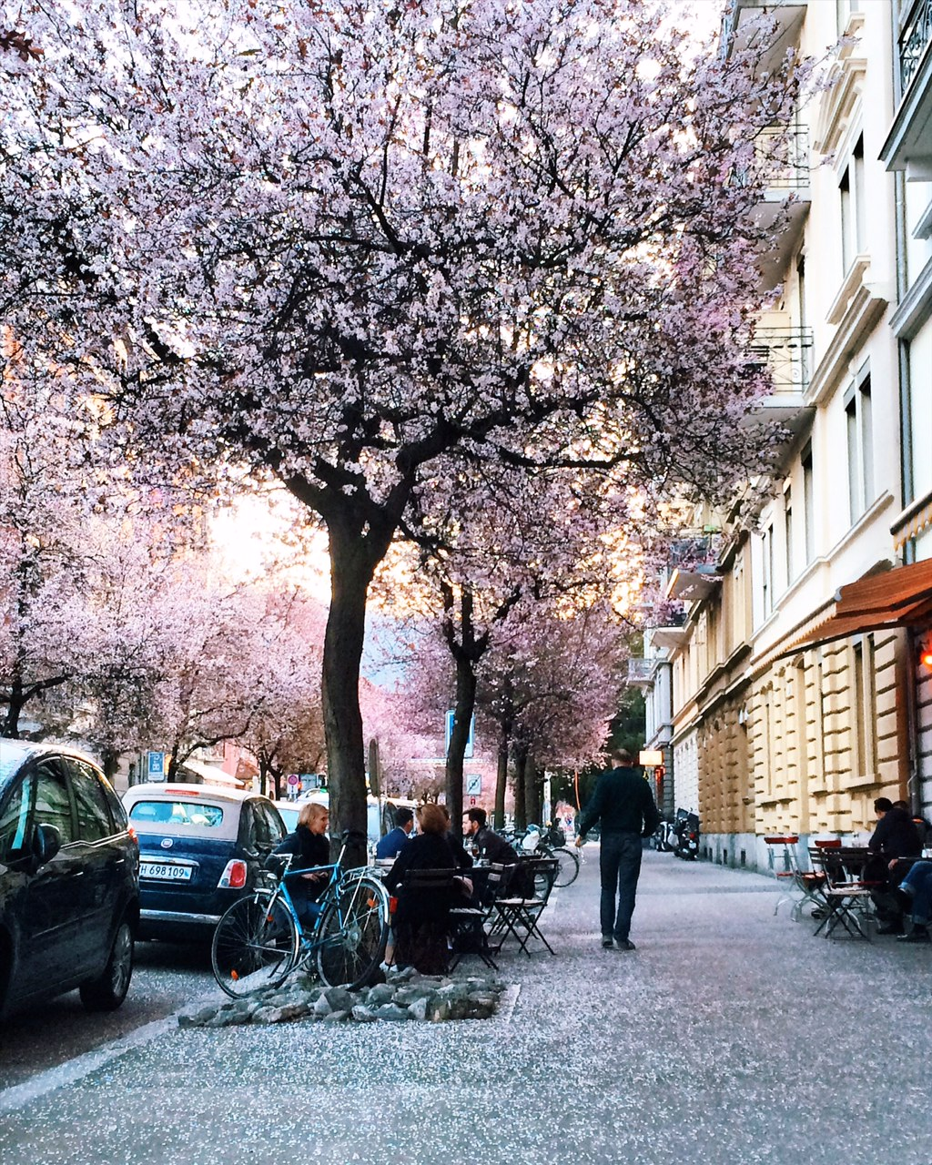 Spring cherry blossom blooming in Zurich