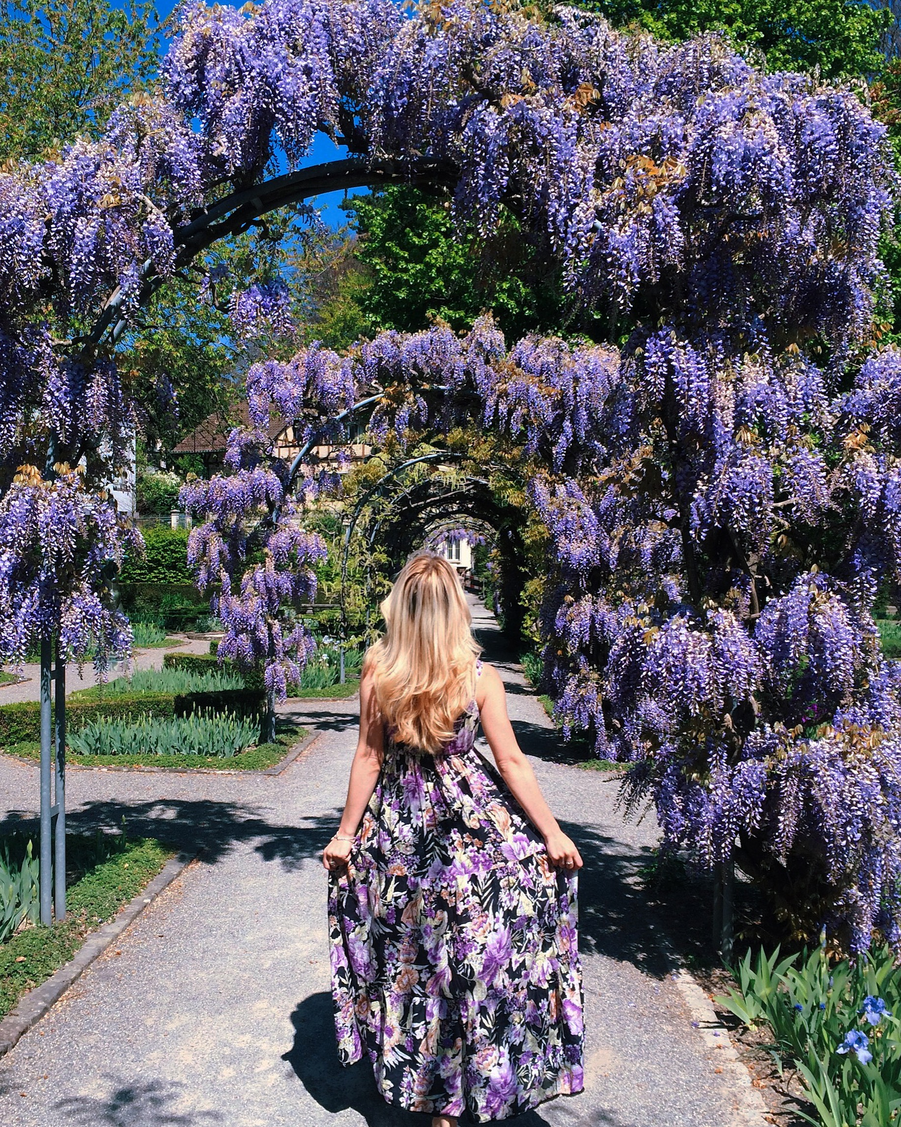 Purple blooming wisteria in a Zurich park